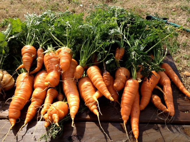 A surprising winter harvest of carrots from our garden