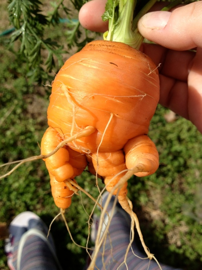 Little Michelin Man Round Parisian Carrot
